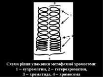 Схема рівня упаковки метафазної хромосоми: 1 еухроматин, 2 гетерохроматин, 3 ...