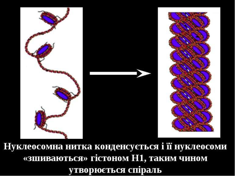 Нуклеосомна нитка конденсується і її нуклеосоми «зшиваються» гістоном Н1, так...