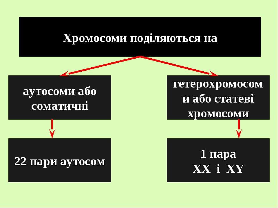 Хромосоми поділяються на аутосоми або соматичні гетерохромосоми або статеві х...