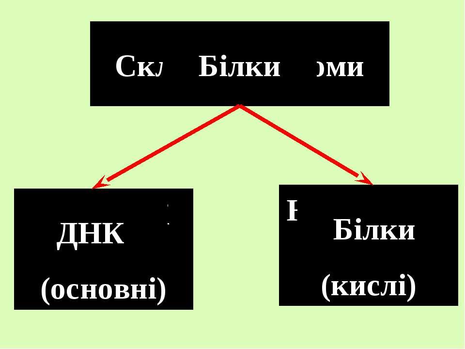 Склад хромосоми Білки Негістонові білки (кислі) Гістонові білки (основні) Біл...