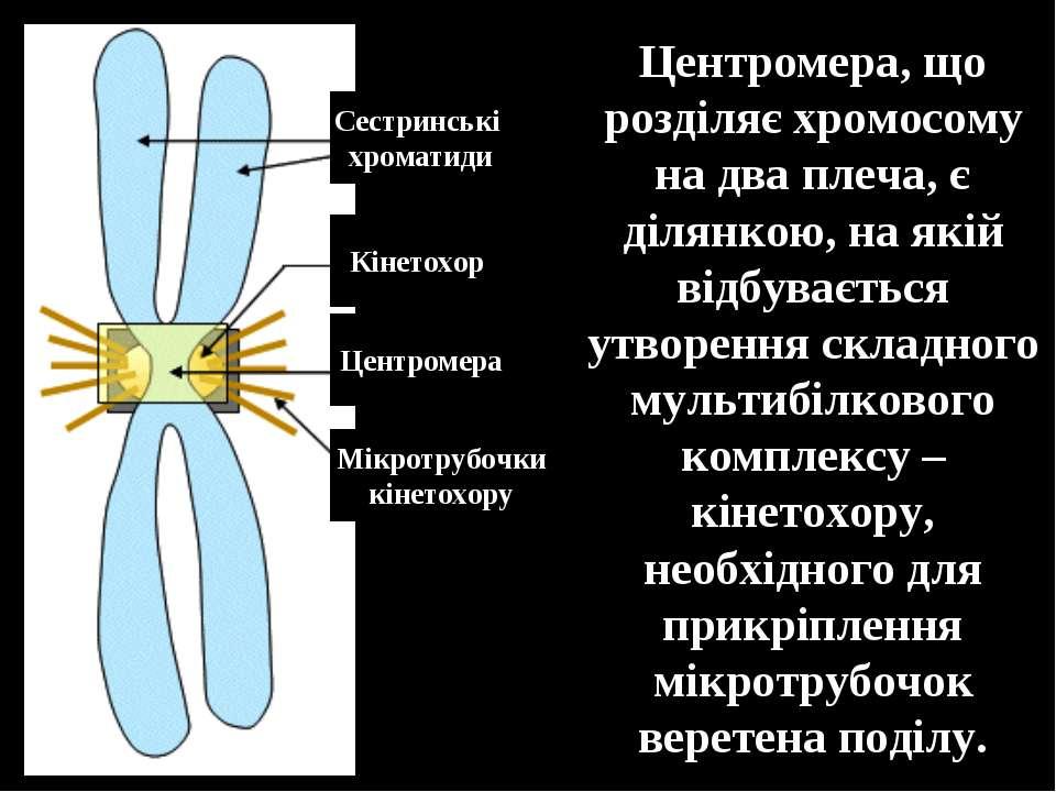 Центромера, що розділяє хромосому на два плеча, є ділянкою, на якій відбуваєт...