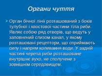 Органи чуття Орган бічної лінії розташований з боків тулубної і хвостової час...