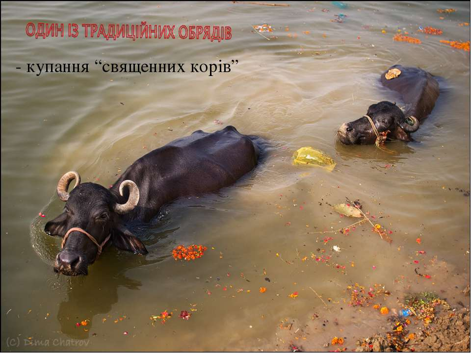 """- купання """"священних корів"""""""