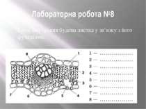 Лабораторна робота №8 Тема. Внутрішня будова листка у зв'язку з його функціями.