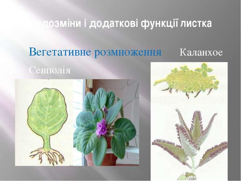 Видозміни і додаткові функції листка Вегетативне розмноження Каланхое Сенполія
