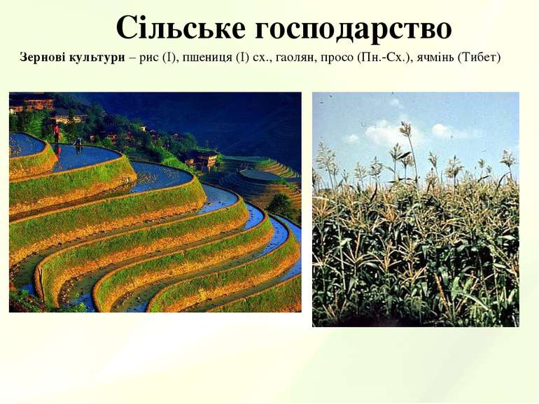 Сільське господарство Зернові культури – рис (І), пшениця (І) сх., гаолян, пр...
