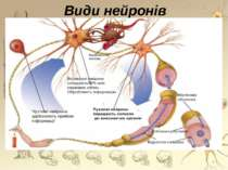 Види нейронів *