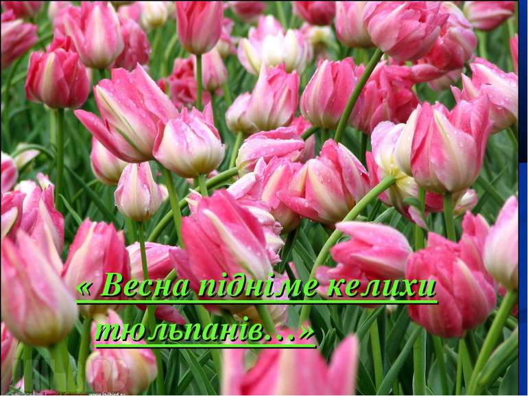 « Весна підніме келихи тюльпанів…»