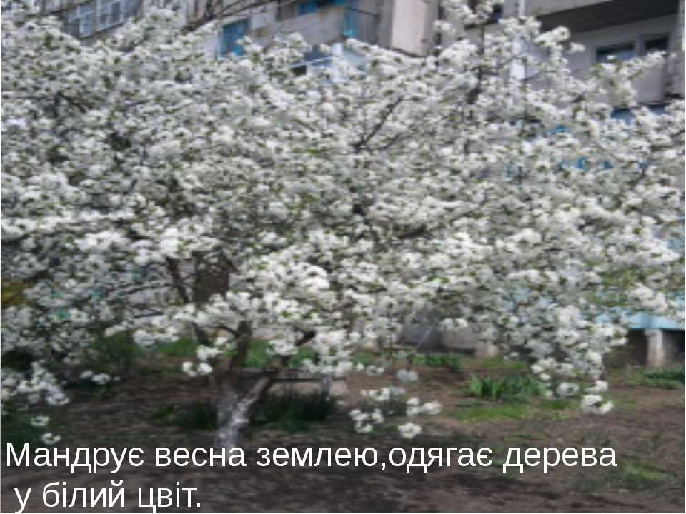 Мандрує весна землею,одягає дерева у білий цвіт.