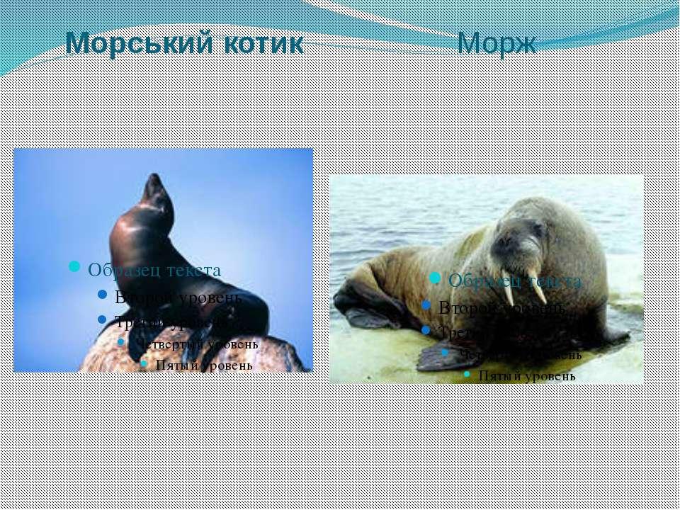 Морський котик Морж