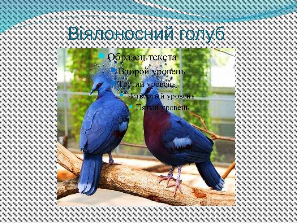 Віялоносний голуб