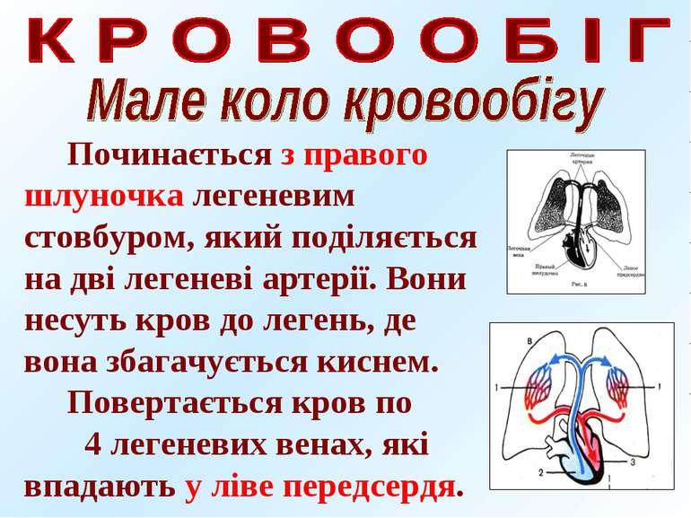Починається з правого шлуночка легеневим стовбуром, який поділяється на дві л...