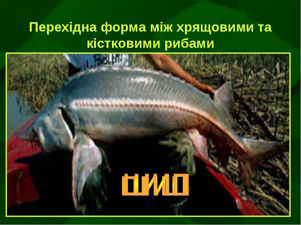 Перехідна форма між хрящовими та кістковими рибами