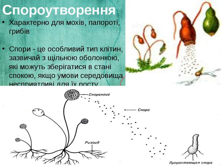 Спороутворення Характерно для мохів, папороті, грибів Спори - це особливий ти...