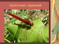 Крокотеміс червоний