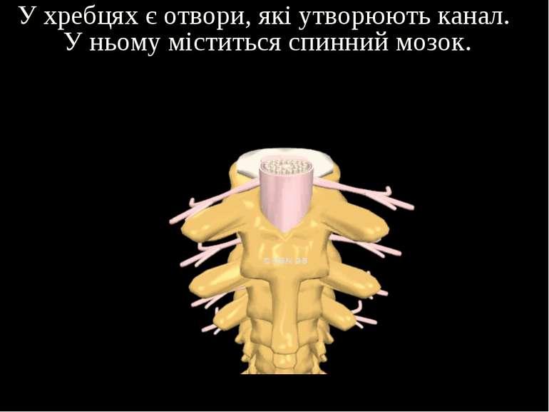 У хребцях є отвори, які утворюють канал. У ньому міститься спинний мозок.