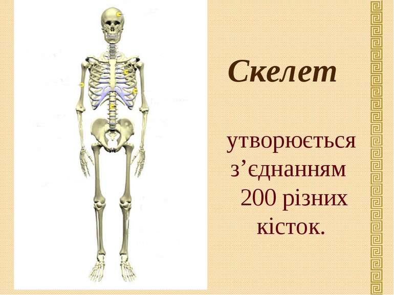 Скелет утворюється з'єднанням 200 різних кісток.