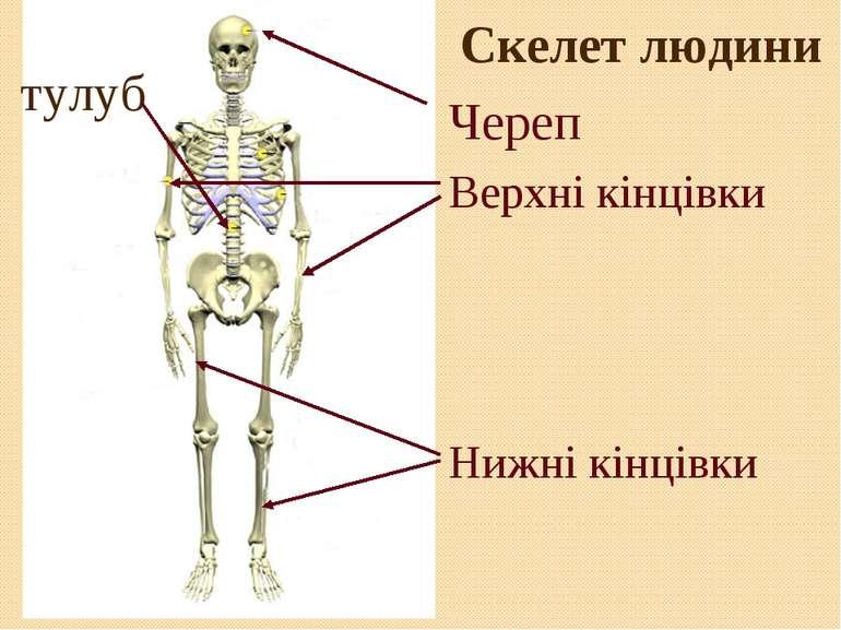 Скелет людини Череп Верхні кінцівки Нижні кінцівки тулуб