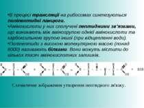 В процесі трансляції на рибосомах синтезуються поліпептидні ланцюги. Амінокис...