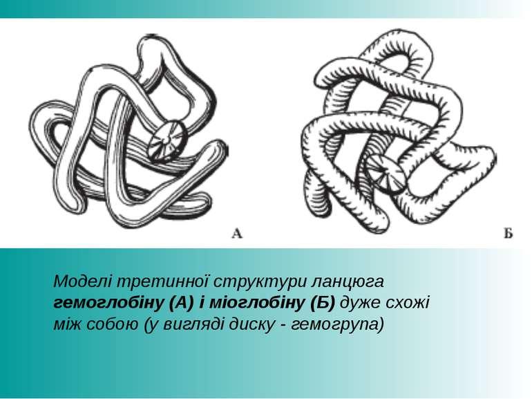 Моделі третинної структури ланцюга гемоглобіну (А) і міоглобіну (Б) дуже схож...