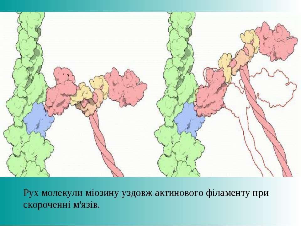 Рух молекули міозину уздовж актинового філаменту при скороченні м'язів.