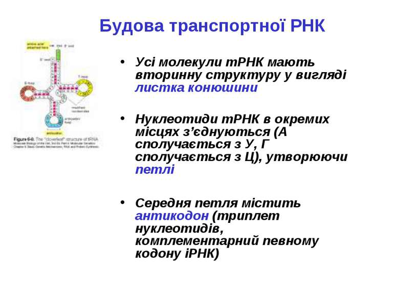 Будова транспортної РНК Усі молекули тРНК мають вторинну структуру у вигляді ...