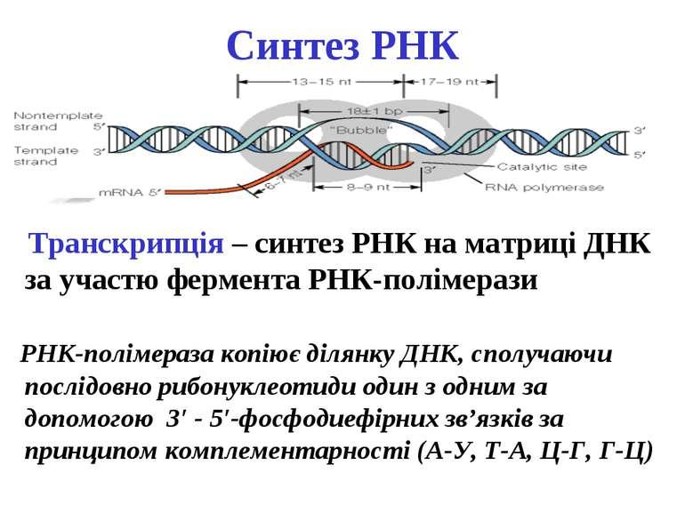 Cинтез РНК Транскрипція – синтез РНК на матриці ДНК за участю фермента РНК-по...
