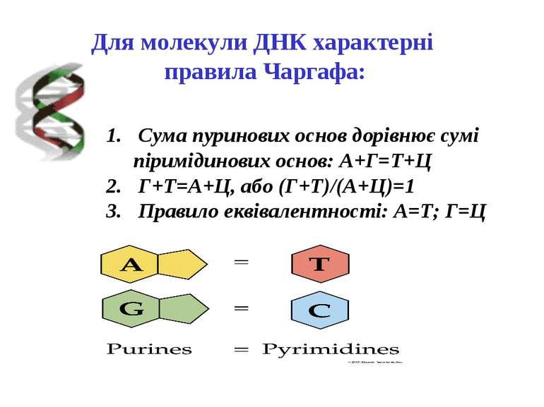 Для молекули ДНК характерні правила Чаргафа: Сума пуринових основ дорівнює су...