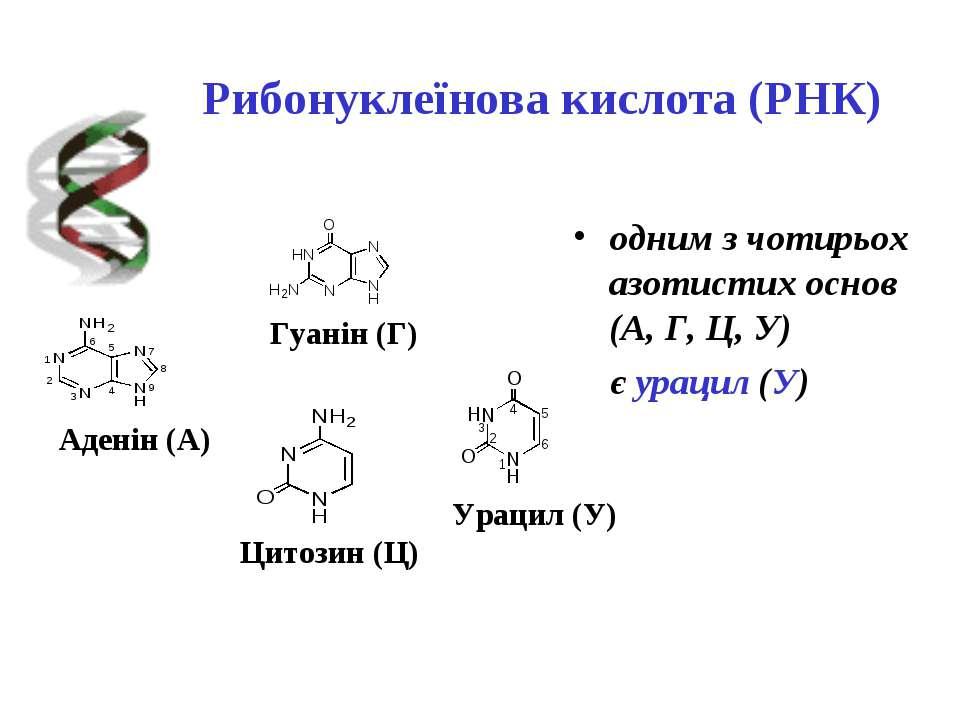 Рибонуклеїнова кислота (РНК) одним з чотирьох азотистих основ (А, Г, Ц, У) є ...