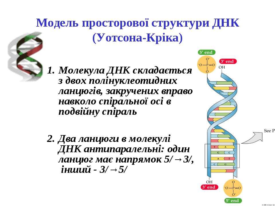 Модель просторової структури ДНК (Уотсона-Кріка) Молекула ДНК складається з д...