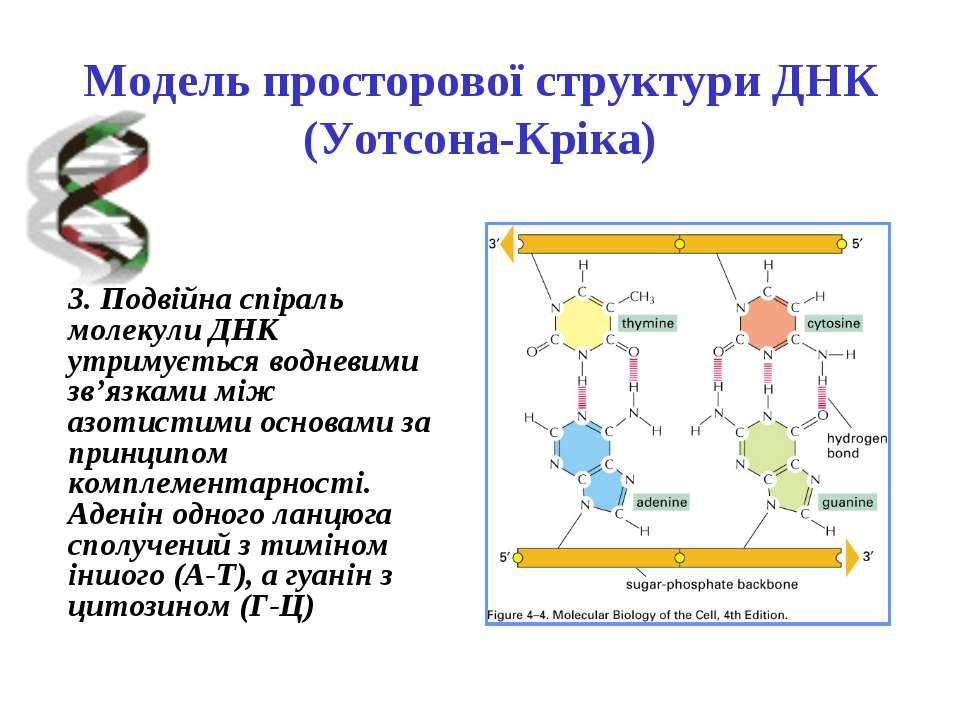 Модель просторової структури ДНК (Уотсона-Кріка) 3. Подвійна спіраль молекули...