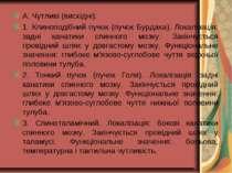 А. Чутливі (висхідні): 1. Клиноподібний пучок (пучок Бурдаха). Локалізація: з...