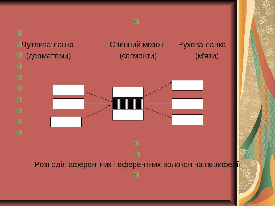 Чутлива ланка Спинний мозок Рухова ланка (дерматоми) (сегменти) (м'язи) ...