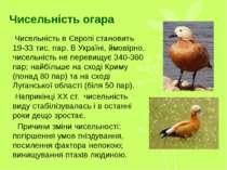 Чисельність огара Чисельність в Європі становить 19-33 тис. пар. В Україні, й...