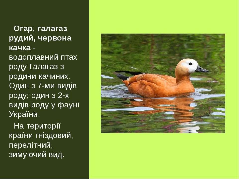 Огар, галагаз рудий, червона качка- водоплавний птах роду Галагаз з родини к...