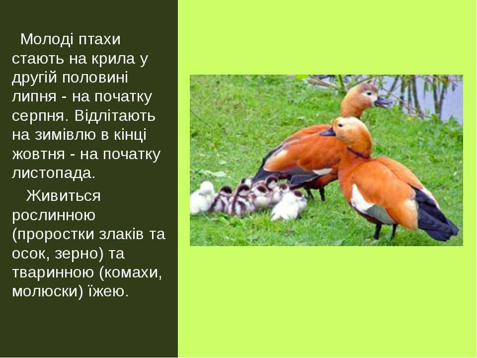 Молоді птахи стають на крила у другій половині липня- на початку серпня. Від...
