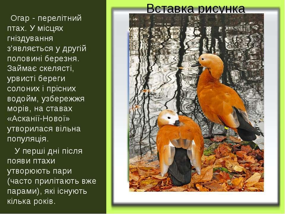 Огар - перелітний птах. У місцях гніздування з'являється у другій половині бе...