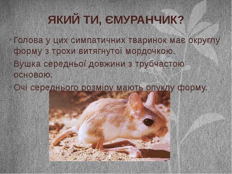 Голова у цих симпатичних тваринок має округлу форму з трохи витягнутої мордоч...