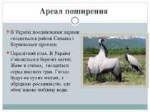 В Україні поодинокими парами гніздиться в районі Сиваша і Керчинської протоки...