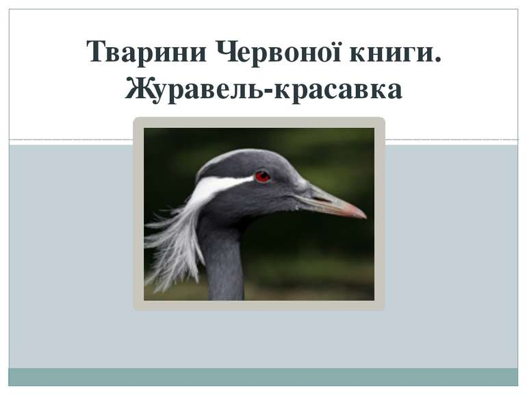 Тварини Червоної книги. Журавель-красавка