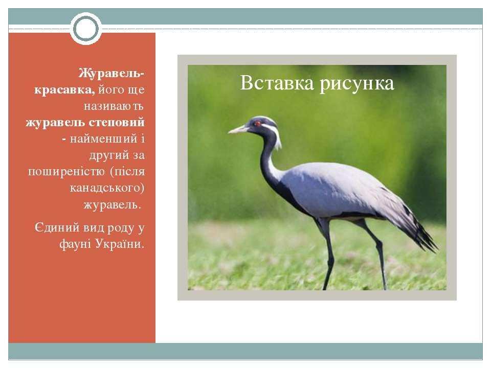Журавель-красавка, його ще називають журавель степовий - найменший і другий з...