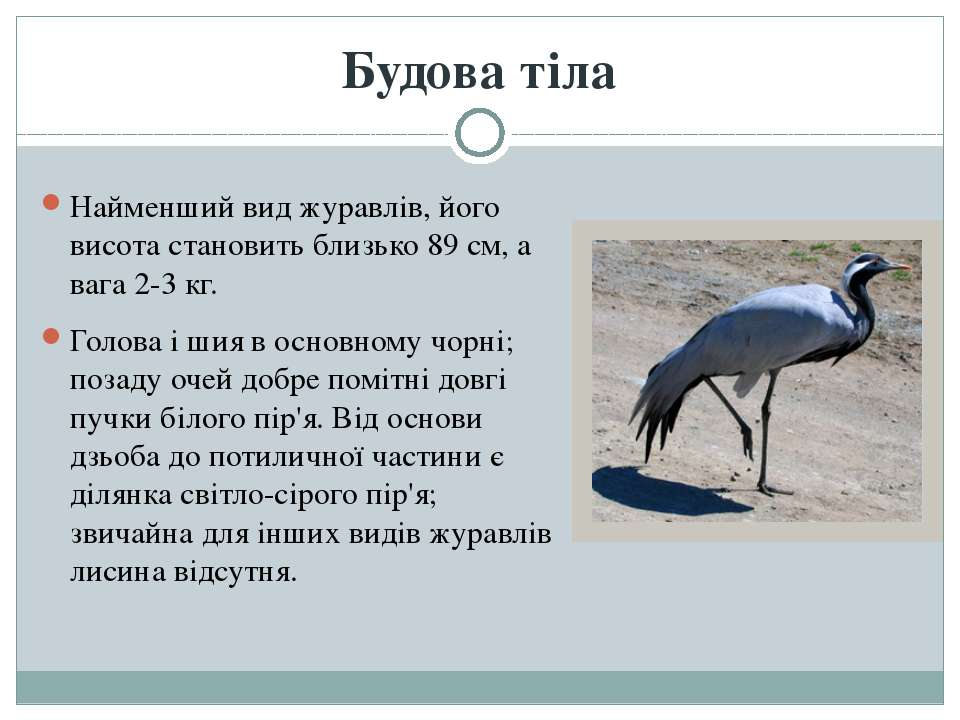 Будова тіла Найменший вид журавлів, його висота становить близько 89 см, а ва...