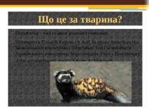 Що це за тварина? Перев'язка - вид ссавців родини куницевих. Поширені в Східн...