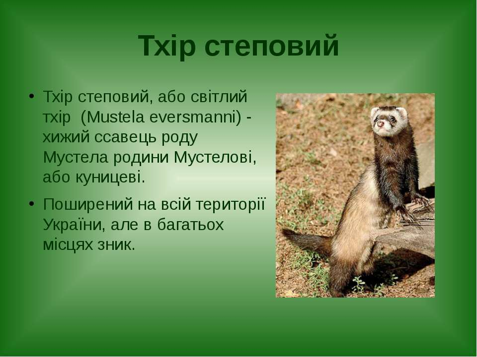 Тхір степовий Тхір степовий, або світлий тхір (Mustela eversmanni) - хижий сс...