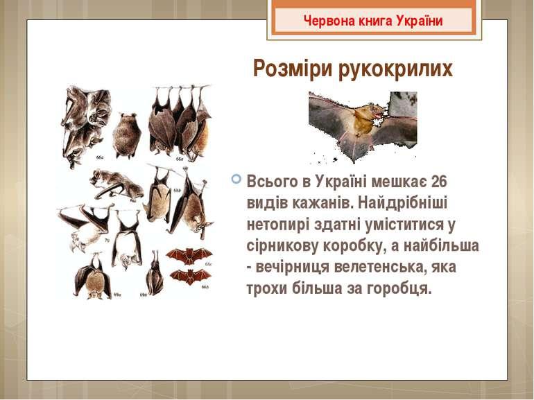 Всього в Україні мешкає 26 видів кажанів. Найдрібніші нетопирі здатні умістит...