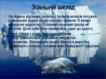 На відміну від інших тюленів у тюленів-монахів потужно розвинений задній відд...