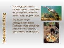 Хохуля добре плаває і спритно пірнає, розшукуючи на дні черв'яків, молюсків, ...