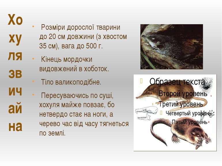 Розміри дорослої тварини до 20 см довжини (з хвостом 35 см), вага до 500 г. К...
