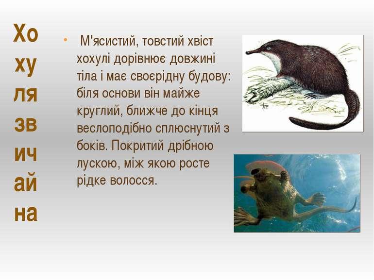 М'ясистий, товстий хвіст хохулі дорівнює довжині тіла і має своєрідну будову:...