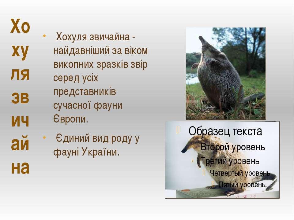 Хохуля звичайна Хохуля звичайна - найдавніший за віком викопних зразків звір ...